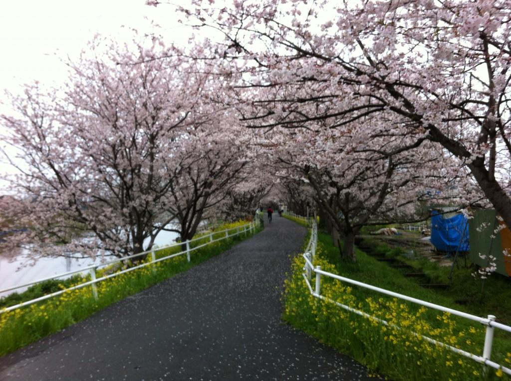 花見川桜のアーチ
