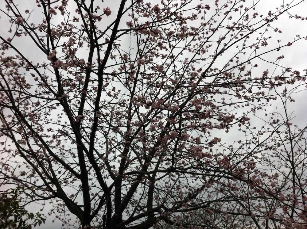 花井川区役所寒桜とうぐいす