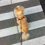愛犬(チワワ)と朝のお散歩