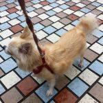 愛犬チワワ
