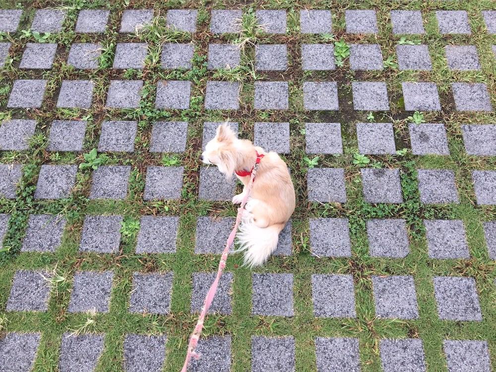 愛犬のチワワ
