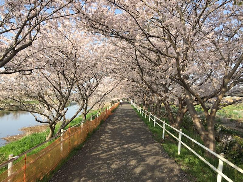 花見川千本桜緑地と汐留橋〜玄鼻橋間の桜のトンネル